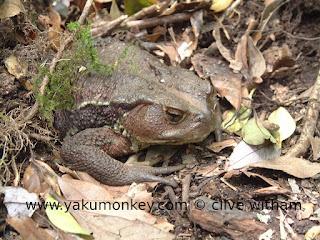 Yakushima toad