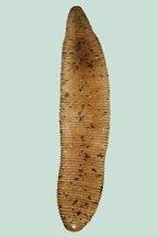 Agro List: Hirudinea