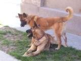 foxe si noua lui prietena, arys