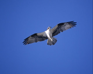 Osprey in Flight Courtesy of the US Fish and Wildlife Service