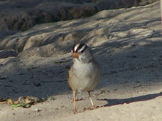 White-crowned Sparrow looking for seeds