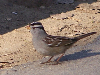 White-crowned Sparrow in Central Park in Huntington Beach