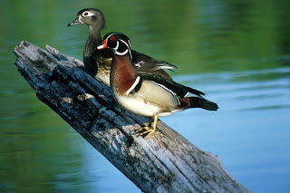 Wood Duck Pair Courtesy of US Fish and Wildlife Service