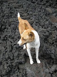 Volcano dog - Volcan Pacaya