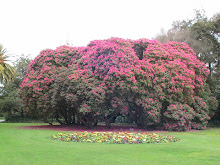 a clump of rhododendron