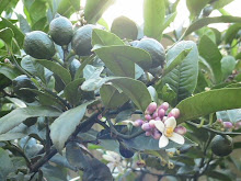 Lemon tree 2