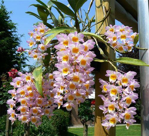 Orchidee Da Esterno.Orchidofilia Perchè I Cymbidium Non Fioriscono