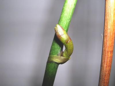 Orchidofilia lo sbalzo termico necessario per la fioritura for Orchidea fioritura