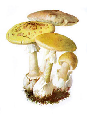 wild foods mushrooms