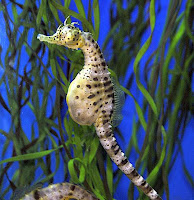 Image result for pregnant seahorse
