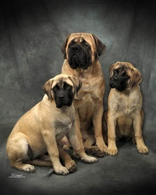 PUPPY CARE CENTER: American Mastiff Puppy Care Center and
