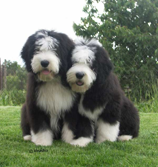 Dogbreedcatalog Bearded Collie Puppies