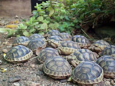 Chiarasalvanatura le tante specie delle tartarughe for Acqua tartarughe