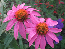 echinacea from yard 08