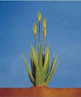 Flori de Aloe Vera - Barbadensis Miller