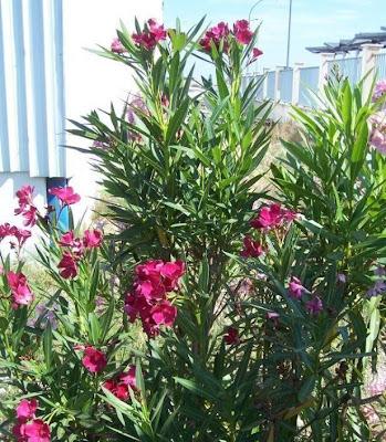 Oleander, Nerium oleander
