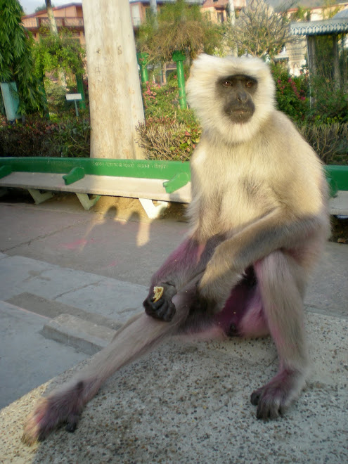 A Wise Brown Monkey, Pink after Holi