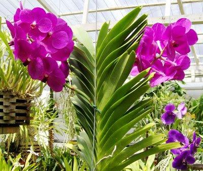 Orquidário OrquivivA: Orquídea Vanda