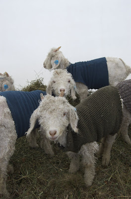 Martha S Vineyard Fiber Farm Baby Goats Wearing Sweaters