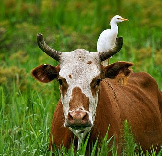 cow birds and other relationship counseling