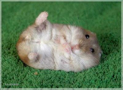 ratoncito, imagen tierna, hanster