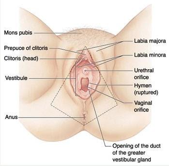 female large Erotica genitalia