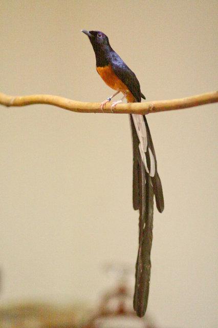Dunia Flora Dan Fauna Pemilihan Bahan Burung Murai Batu Yang Baik