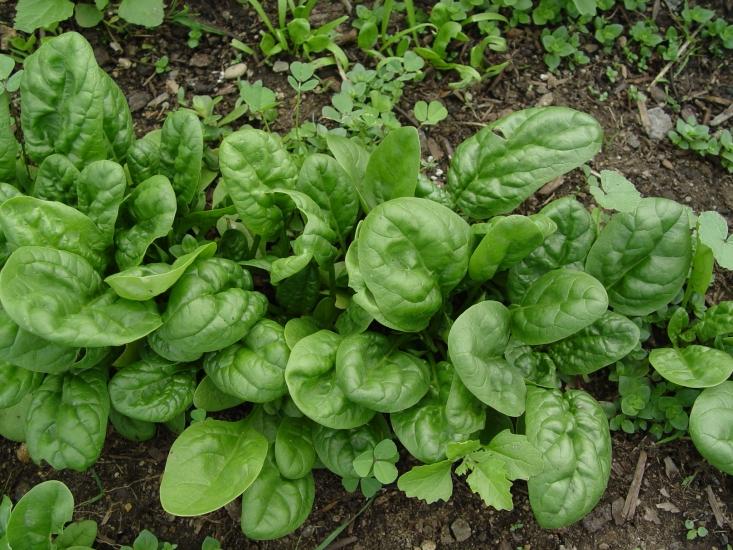 [spinach.jpg]