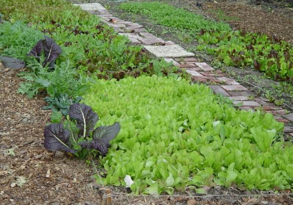 [lettuce+patch.jpg]