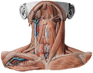 Resultado de imagen para cuello anatomia