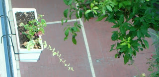 Dal terrazzo vaso di edera