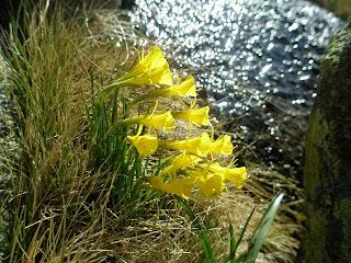 flor de montaña tornavacas