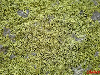 Liquenes en el granito en Tornavacas