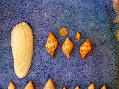 A collection of sea shells found on Sanibel Island, including an angel wing and a few juvenile true tulips.