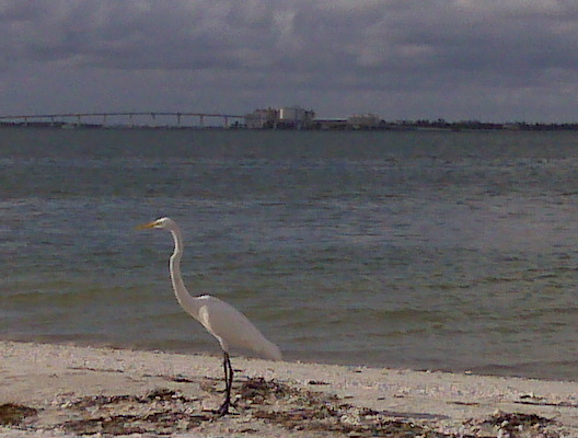 An egret on the Lighthouse Beach, Sanibel Island, with Sanibel Causeway in backgroud