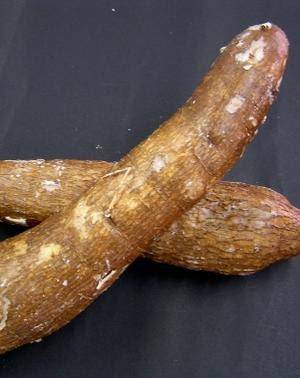 Mandioca cria barriga na maioria das mulheres, mas não cria barriga nos homens.