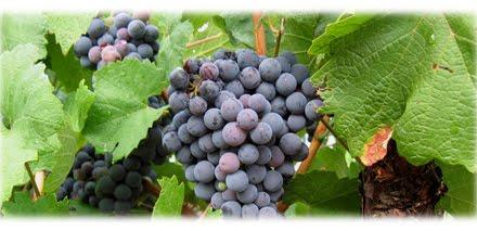 Spanje recepten 39 la vendimia 39 de wijnoogst in spanje - Wijnoogst ...