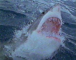 Great White Shark, note upper jaw extended to slash at prey better.