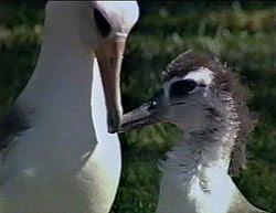 Laysan albatross parent with chick