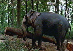 Asian Elephant hauling timber in Sri Lankan forest