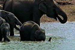 Family herd of Asian Elephants