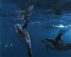 Common dolphins underwater at the Poor Knights Islands, NZ.