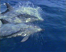 Dolphins at the Poor Knights Islands, NZ.