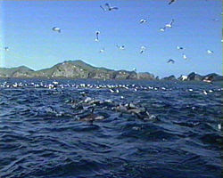 Dolphin school herding fish; seabirds join in the frenzy.
