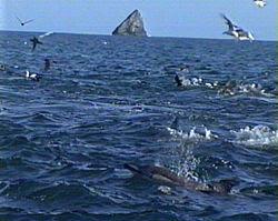 Common dolphins herding fish shoal, Poor Kinghts Islands, NZ.