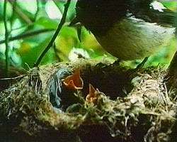 Black robin chicks being fed by foster parent