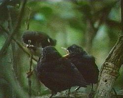 Tomtit feeding fledgling black robin chicks