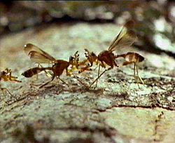 Aggression between pair of male antlered fruit flies, Papua New Guinea.