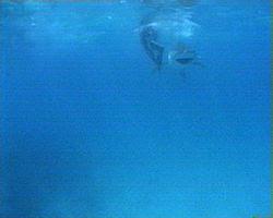 tiger shark preys on laysan albatross