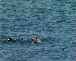 Californian Sea Otter.